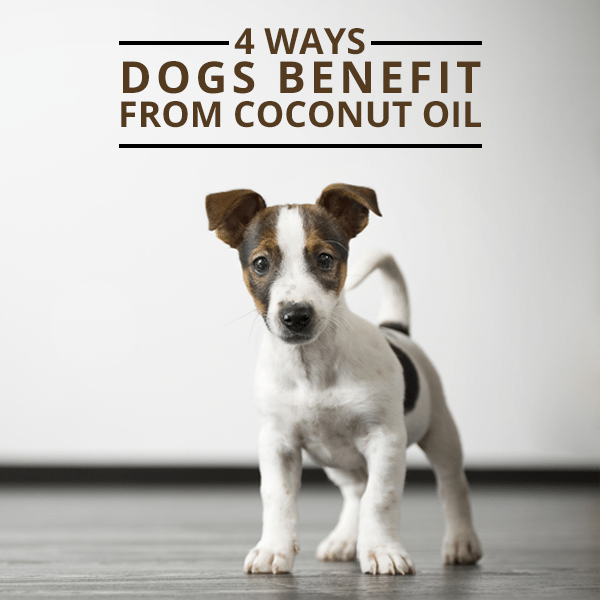 4-Ways-Dogs-Benefit-From-Coconut-Oil