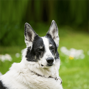 "Adopting a Pet? Consider a ""Retired"" Dog!"
