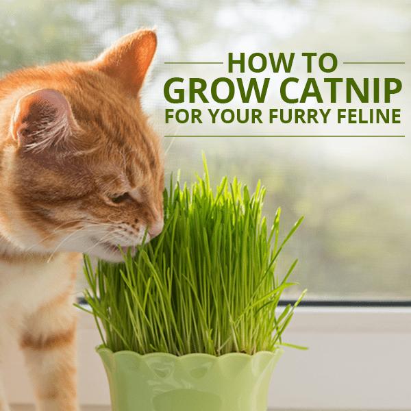 How To Grow Catnip For Your Furry Feline