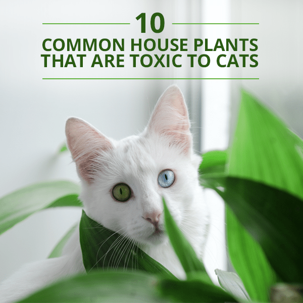 10 Common House Plants That Are Toxic to Cats on safe indoor plants for cats, safe outdoor plants for cats, safe herbs for cats, safe vines for cats, safe food for cats,