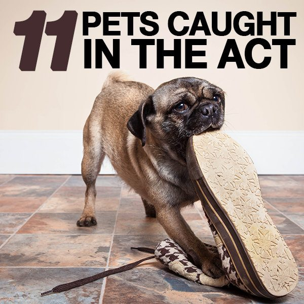 11 Pets Who Got Caught!