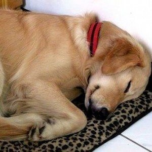 Dog Who Desperately Needed a Nap and How He Got One