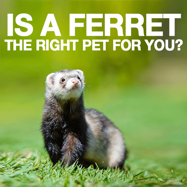 Is-A-Ferret-the-Right-Pet-for-You-