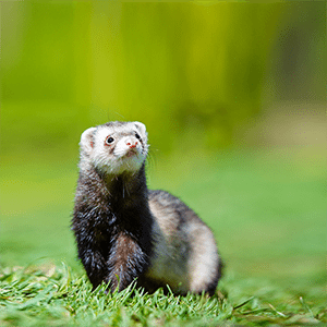 Is A Ferret the Right Pet for You?