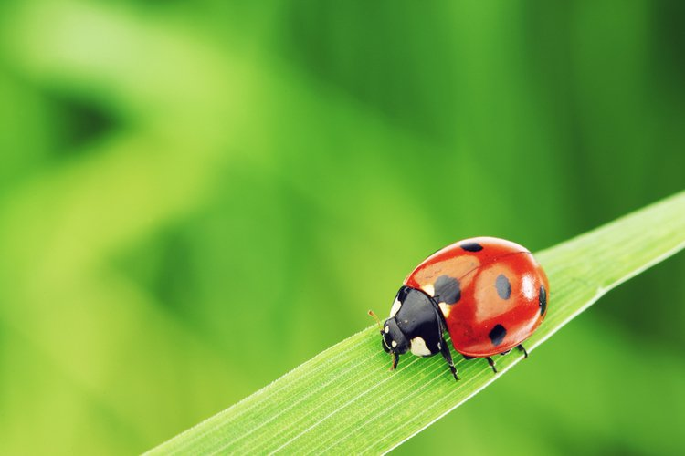 Natural Remedy For Ladybugs